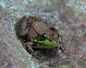 Frog lead image